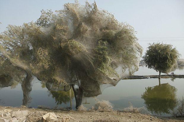 Drzewa pełne pajęczyn
