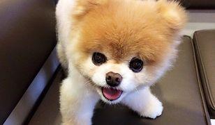 Najpopularniejszy pies świata nie żyje. Miał 12 lat
