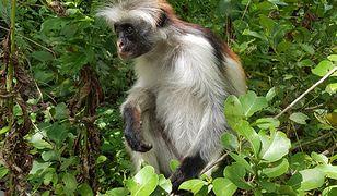 Małpa Red Colobus na Zanzibarze