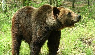Медведи гуляют по улицам Закопане [ВИДЕО]