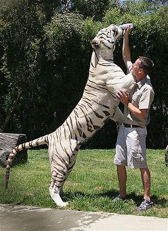 Tygrys Odin Lubi Wodę Jakby Nie Był Kotem Duży Ale Kot Wp