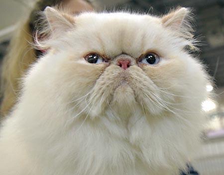 Kot Perski Na Xxxi Xxxii Międzynarodowej Wystawie Kotów Rasowych W