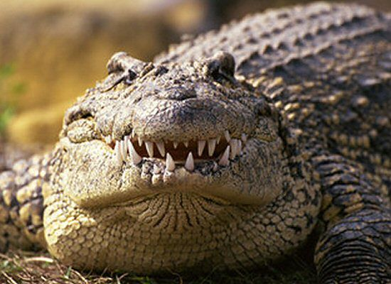 Znalezione obrazy dla zapytania krokodyl