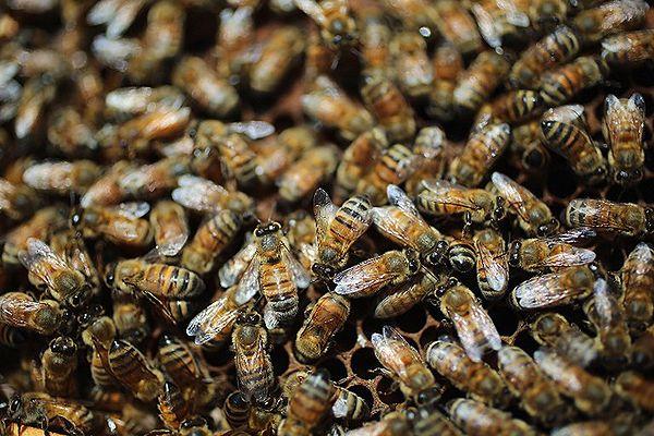 IRój pszczół na Placu Katedralnym