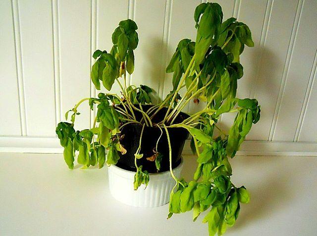 Uratuj Przesuszone Rośliny Doniczkowe Wp Dom