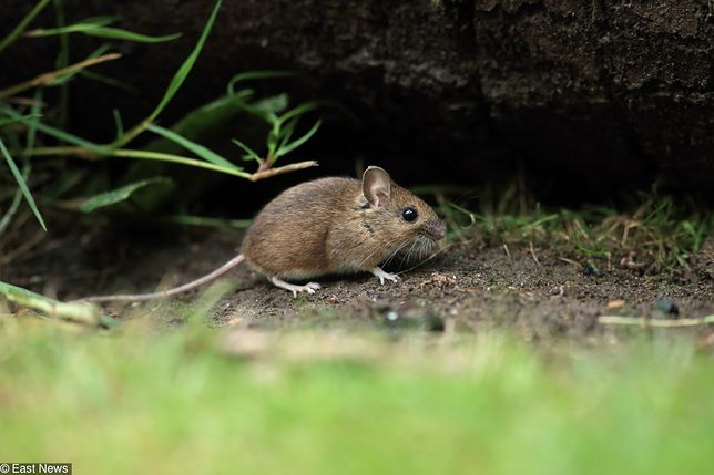 Szykuje się prawdziwa plaga. Najpierw myszy, potem kleszcze - WP ...