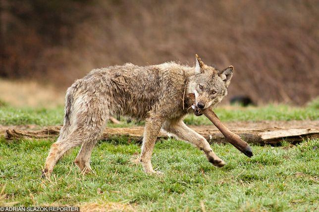 Groovy W Bieszczadach wilki zlikwidowały problem bezpańskich psów. Teraz VN02