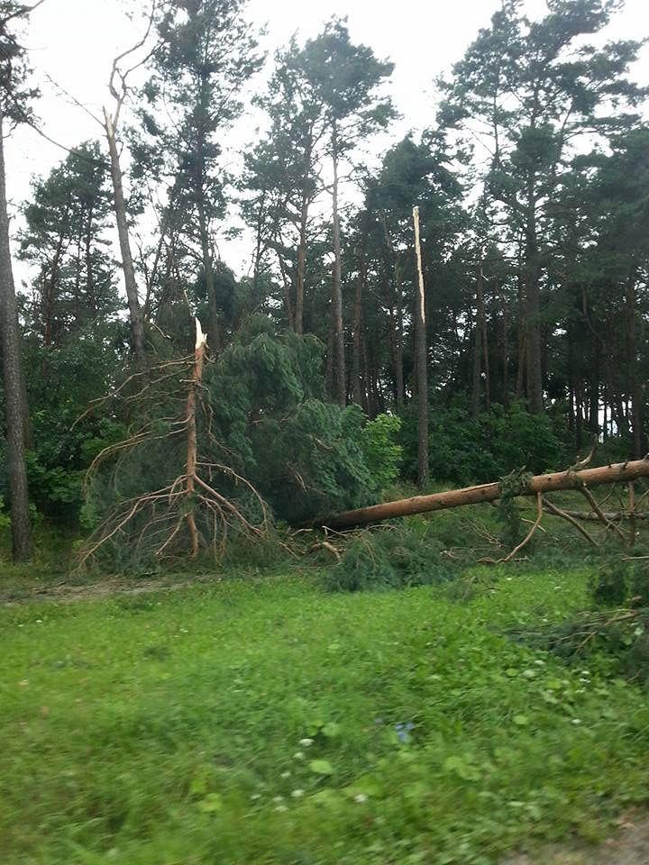 Powalone drzewa w pobliżu Chojnic.