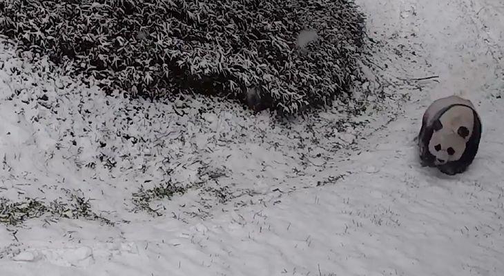 Pandy z waszyngtońskiego ZOO uwielbiają zimę. Potwierdza to nagranie z kamer