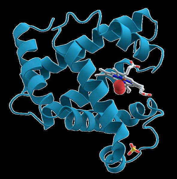 Cząsteczka mioglobiny